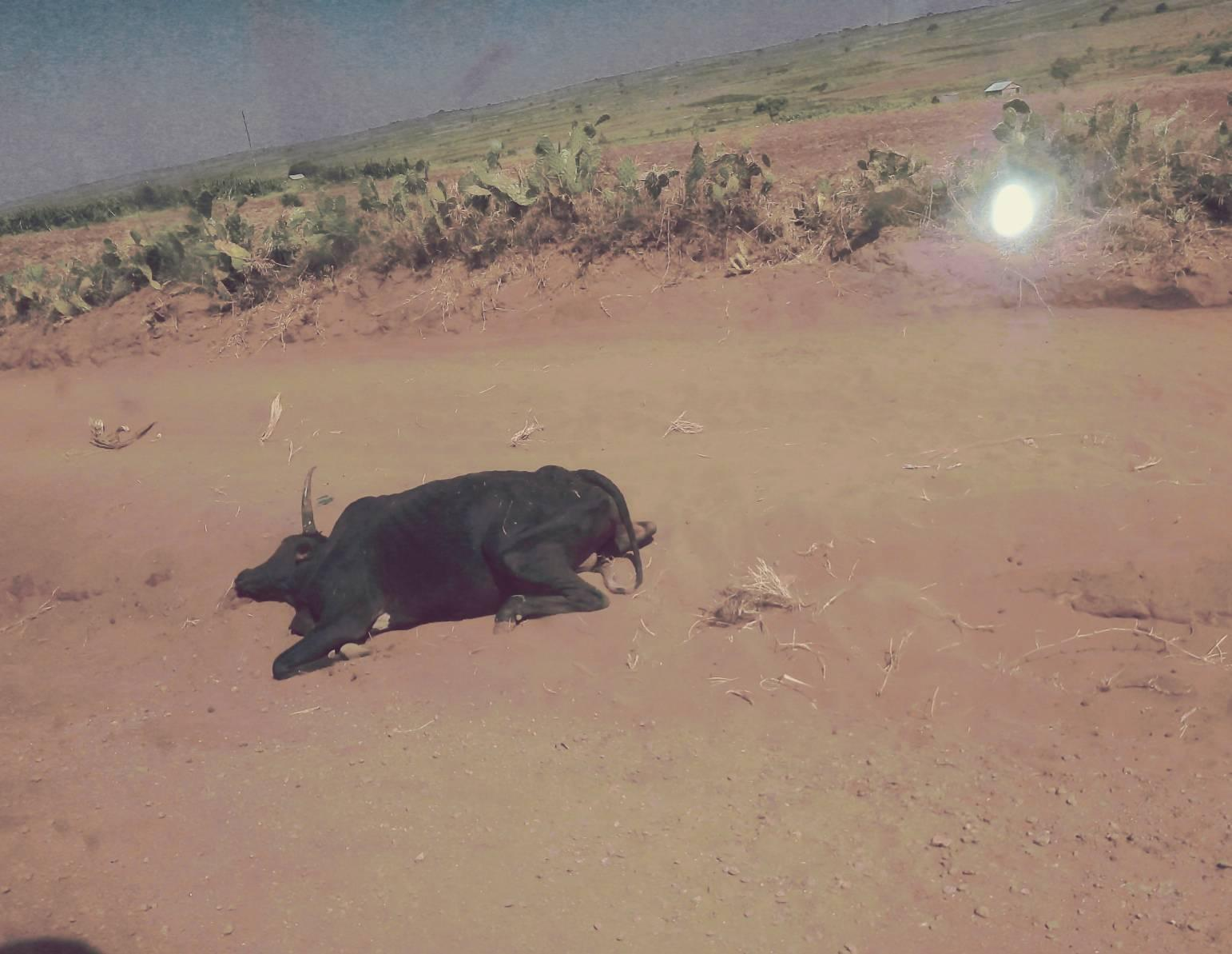 zebu mort de soif dans le sud de madagascar