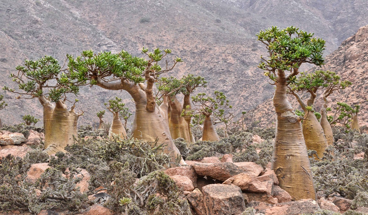 Socotra Bottle Trees