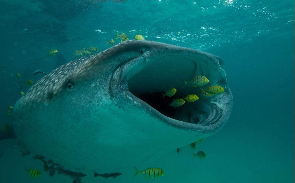 Requin baleine dans les eaux de Mafia (originaldiving.com)